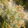 ②対策編:花粉症を漢方でなんとかしてやろー談♪