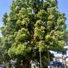 巨大な楠木と運動不足