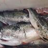 【釣り堀】海上釣り堀でサーモンフィッシング!食べても美味しい銀鮭を釣りに行こう!(動画アリ)