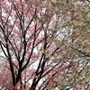 新宿御苑の桜開花状況2017(2017/4/2)