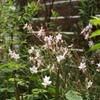 ガウラがたくさん咲いていた