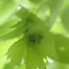 葉っぱのような実をつけるイヌシデ