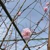 花桃、初開花