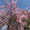 桜の花舞い上がる2019