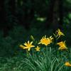府中市の浅間山にだけ自生する「ムサシノキスゲ」が咲き始めたようなので浅間山公園に行ってきた