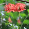 今日の誕生花「フウリンブッソウゲ」風鈴に似てる花姿のハイビスカス!