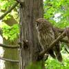 巣を見張るお母さんフクロウ