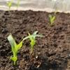 トウモロコシの芽だし第一弾植え替え完了。