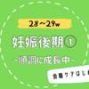 【28〜29w/妊娠後期①】お腹は張るけど赤ちゃんは順調に成長中!