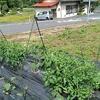 トマトの支柱を立てる
