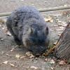 五月山動物園のウォンバットが増えたらしいので会いに行った!ズングリしててメッチャ可愛かった!【大阪府池田市】2017年12月