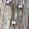 賢い秋ヶ瀬のアカスジキンカメ。団子で集団越冬