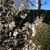 317   梅の花