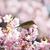 北海道にある桜の名所と開花予想日・満開見頃 ※随時更新