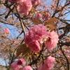 八重桜が咲き始めました(*^^*)