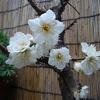 白梅 三分咲き