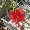 【ブラシ状の赤花が個性的!】『カリステモン(キンポウジュ)ドーソンリバー』の成長と開花!