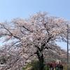 散りゆく桜が見てほしいと言っているかのようなお天気でした