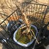 盆栽の幹や枝の汚れをブラシで落とす