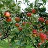 沼田でリンゴ狩り