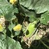 人口受粉させた冬瓜に実がなりました。