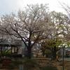 通り車公園の桜