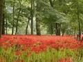 巾着田を染める赤い絶景の彼岸花