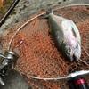 高原川釣果!