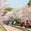 線路を歩きながら桜見学🌸