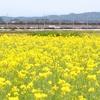 戸出の菜の花畑とひさちゃんラーメン