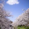 最大3時間待ち♪ 松川べりは満開の桜