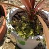 コルジリネとワイヤープランツ 寄せ植え