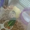 【ハムスター飼育】ハムスターの餌として小松菜もおすすめ。葉っぱを両手でもって食べる姿が愛くるしい!!
