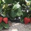 イチゴとキヌサヤエンドウの収穫
