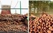 三池淵市のジャガイモ農業で昨年を上回る豊作
