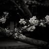 法隆寺西院伽藍の桜
