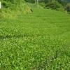 ナラシ前後の茶畑