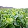 添加物ばかり気にして、野菜が自然に持つ毒素は無視してない?