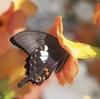 梅の土用干し&庭にアオダイショウ&アオスジアゲハがいっぱい&単眼複眼にモネの庭の写真♪