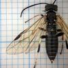 ハバチの1種。(属まではなんとかなった~)
