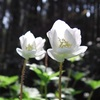 山のスミレとニリンソウの香り 2008年の浅い春
