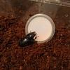 昼休み採集ヒラタ産卵セット