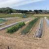 キャベツの定植とチャレンジ畑の準備!