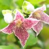 冬咲きのクレマチス:シルホサ・フレクレス