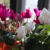 2年目のガーデンシクラメンが咲きました!
