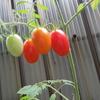 ミニトマトが赤くなって、実食!した話。完結編