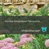 宿根草:アキレア・テラコッタ