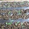 自家採種したトマトの成長記録 ①  発芽