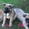 保護子犬「コゴミ・ミツバ・花音(かのん)」の飼い主さんを募集しています