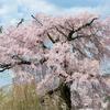 一重白彼岸枝垂桜に感動@円山公園🌸